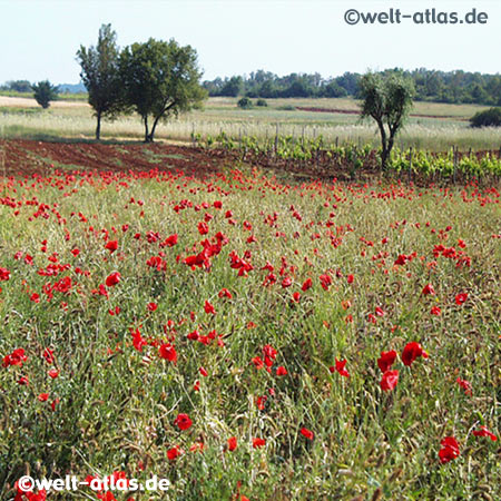 Poppies in Slovenia