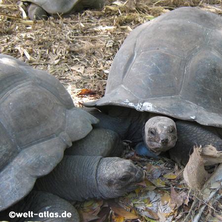 Aldabra-Riesenschildkröten, L'Union Estate, La Digue