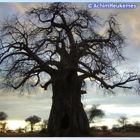 Extremsportler Achim Heukemes unterwegs, hier ein Baobab in Tansania