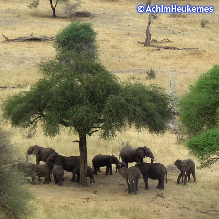 Elephants under a acacia tree, picture taken by Achim Heukemes, a German Ultra Runner