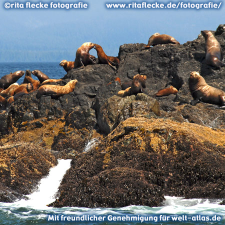 Seelöwen auf den Felsen bei Ucluelet, Vancouver Island – Foto:©http://www.ritaflecke.de/fotografie/