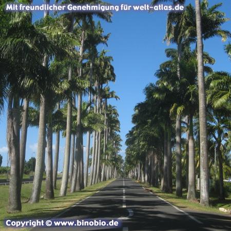 Palmenallee auf Basse Terre, L'Allée Dumanoir in Capesterre-Belle Eau, GuadeloupeFotos: Reisebericht Guadeloupe, guadeloupe.binobio.de