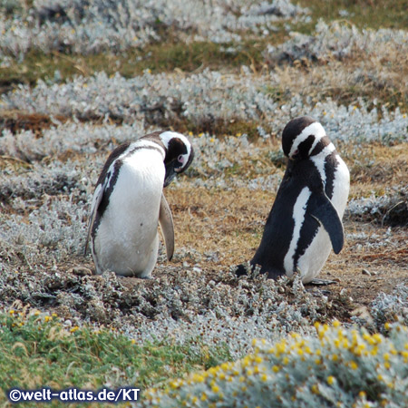 Magellan-Pinguine am Seno Otway