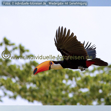 Fliegender Tucan, Brasilien©www.individuelle-fotoreisen.de