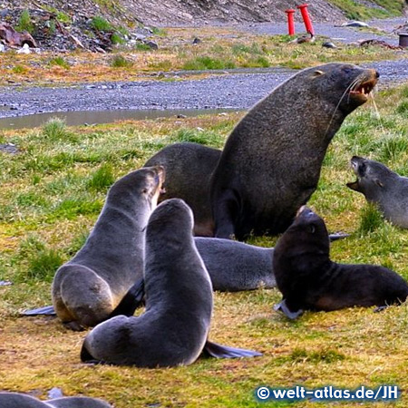 Sea lions, South Georgia