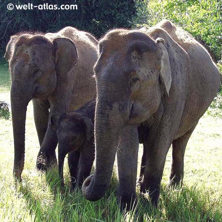 3 Elefanten im Yala-Nationalpark,Sri Lanka, Südostküste