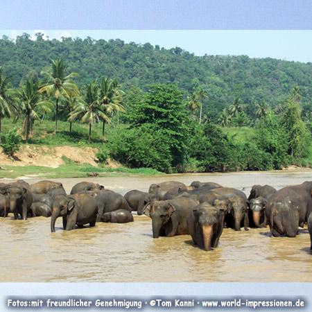 Elefanten-Bad im Fluss, Pinnawela, Sri Lanka
