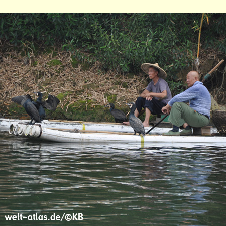 Am Li-Fluss bei Guilin wird auch heute noch der traditionelle Fischfang mit Kormoranen betrieben