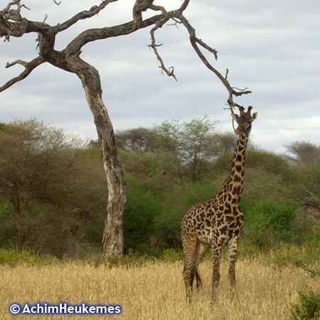 Extremsportler Achim Heukemes in Tansania, unterwegs beobachtet - Giraffe im Tarangire Nationalpark