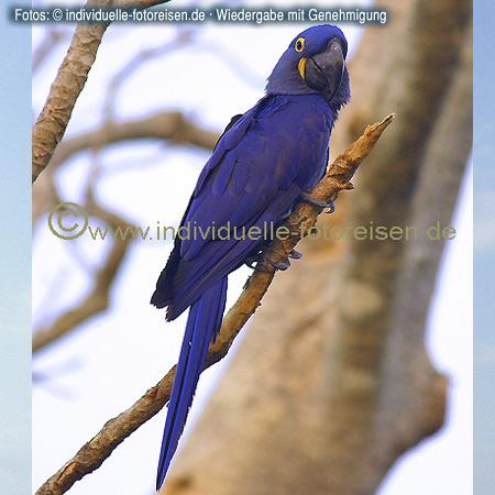 Hyazinth-Ara, Pantanal, Brasilien