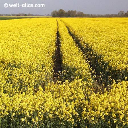 Rapeseed field in Dithmarschen