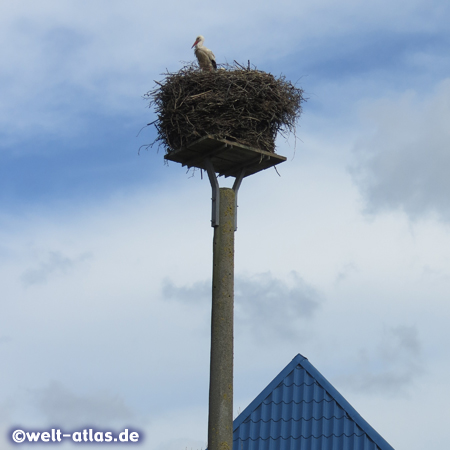 High above the rooftops of the village Bergenhusen a White Stork sits on the nest