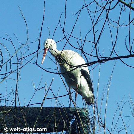 Storch im Westküstenpark,St. Peter-Ording
