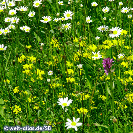 Blühende Alpenwiese im Tannheimer Tal