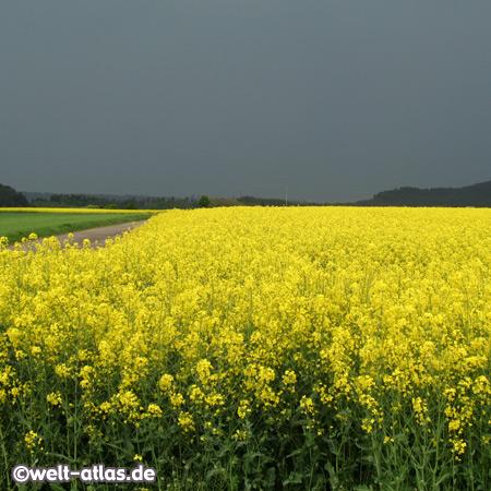 Rapeseed field near Rottweil, Baden-Württemberg, Germany