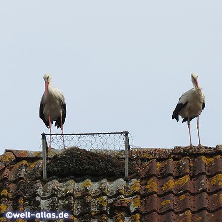 Störche auf einem Dach im Storchendorf Bergenhusen