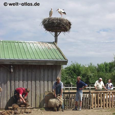 Schafschur im Westküstenpark,St. Peter-Ording, Storchennest