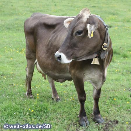 Kuh im Tannheimer Tal