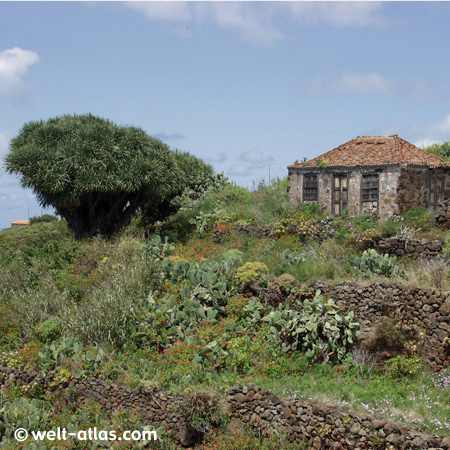 La Palma, Garafia, Drachenbaum, Kanarische Inseln, Spanien