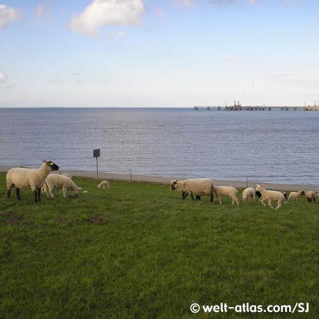 Lämmer auf einem Deich in Ostfriesland