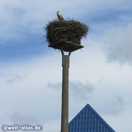 Hoch über den Dächern des Storchendorfes Bergenhusen thronen die Weißstörche auf ihren Nestern
