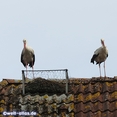 Storks on a rooftop in the stork village Bergenhusen
