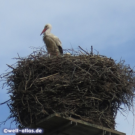 Each year the storks return to their nests in the stork village Bergenhusen