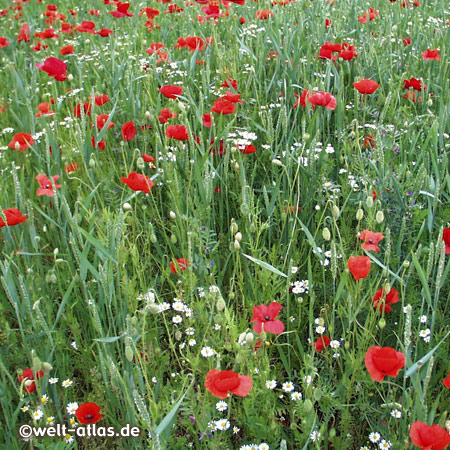 poppy flowers in the beautiful park at Arboretum in Ellerhoop near Hamburg