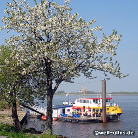 Apfelblüte am Schiffsanleger Lühe