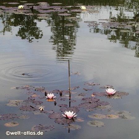 Teich mit Seerosen im Arboretum