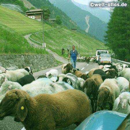 Tausende von Schafe werden im Frühjahr durch das Schnalstal auf die Almen im Nordtiroler Ötztal getrieben