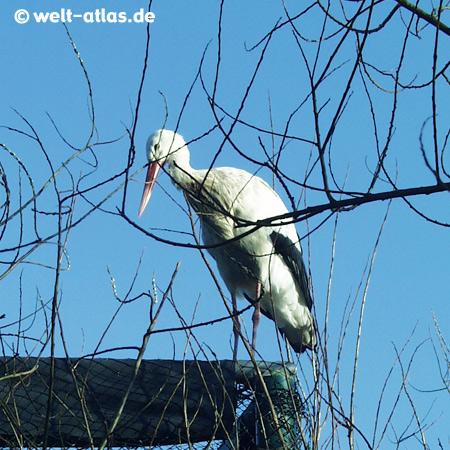 St. Peter-Ording, Storch im Westküstenpark, OT Böhl