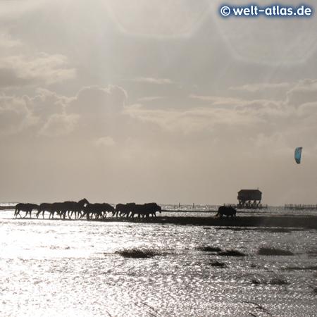 Pferde im überfluteten Vorland am Süd-Strand bei Hochwasser und Westwind in St. Peter-Ording
