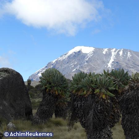 Riesenlobelien am Kilimandscharo, Tansania, hier ist der Extremsportler Achim Heukemes unterwegs www.heukemes.net
