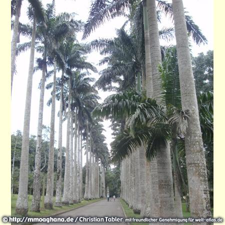 Palmenallee im Botanischen Garten von Aburi, Ghana – (Hilfe für Ghana, http://mmoaghana.de)