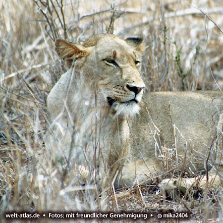 Löwin im Krüger Nationalpark, Foto: ©mika2404