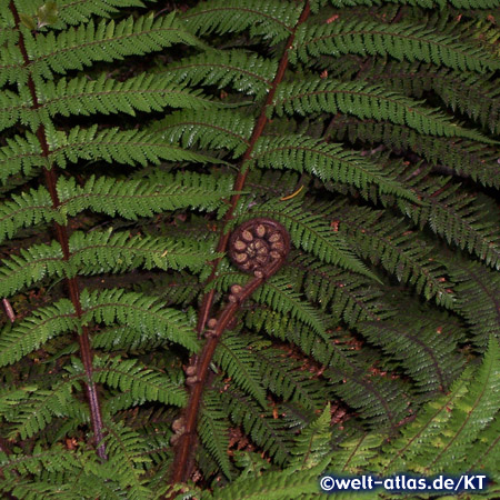 fern, New Zealand