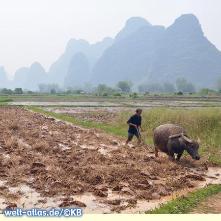 Rice farmer with water buffalo in Yangshuo