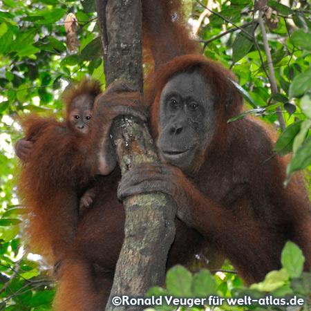 Orangutans in  the orangutan rehabilitation centre of Bukit Lawang