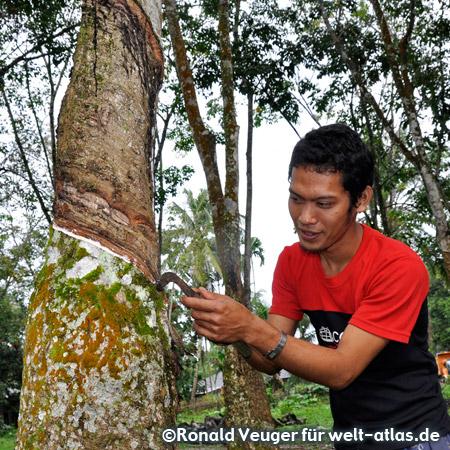 Latexgewinnung von einem Kautschukbaum, Salapian auf Sumatra