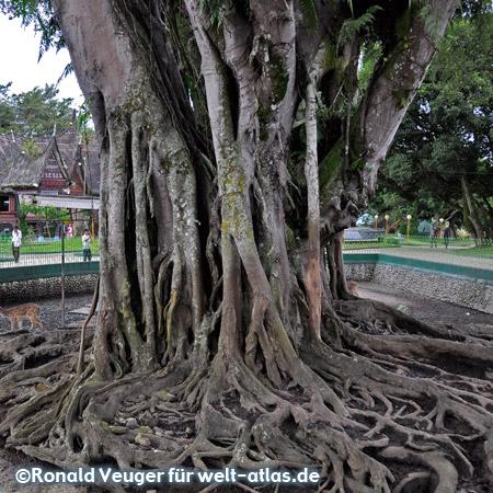Riesige alte Bäume mit gewaltigen Wurzeln im Zoo von Bukittinggi