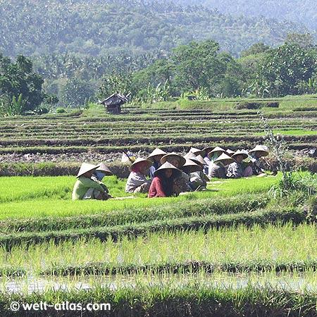 Frauen beim Setzen der jungen Reispflanzen