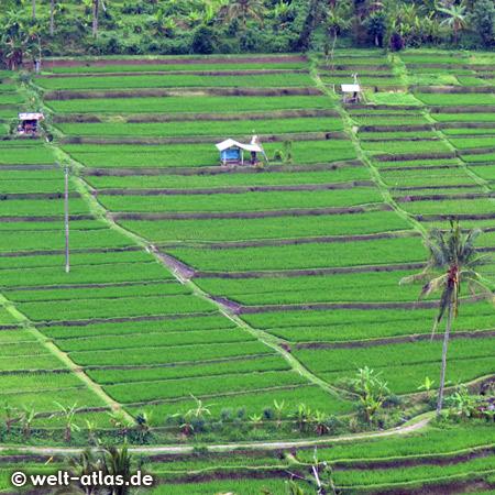 Noch ein schöner Blick auf Reisterrassen, Bali
