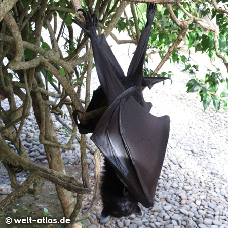 Flying fox or bat hanging in the tree