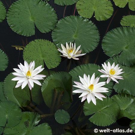 White water lilies, Bali