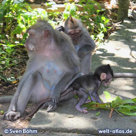 Below the Uluwatu temple monkeys inhabit the whole area