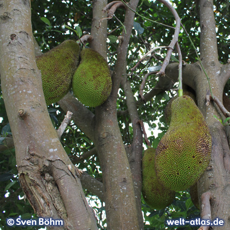 Kakaofrucht auf einer Plantage auf Bali – Foto: Sven Böhm für welt-atlas.de
