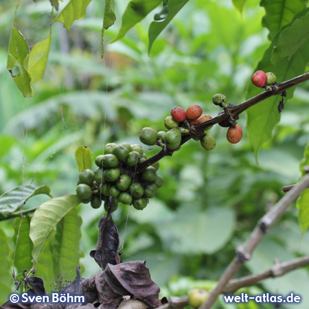 Coffee berries at a plantation, Bali
