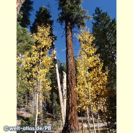 Coniferous trees and aspens, California