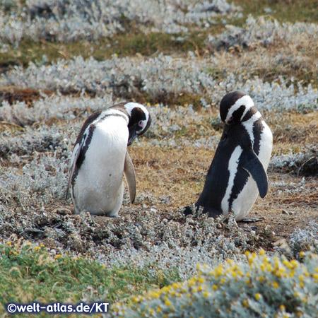 Magellanic Penguins at Seno Otwa